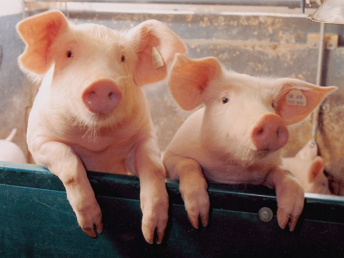 Russia_Increased_Pork_Production_Export_Value