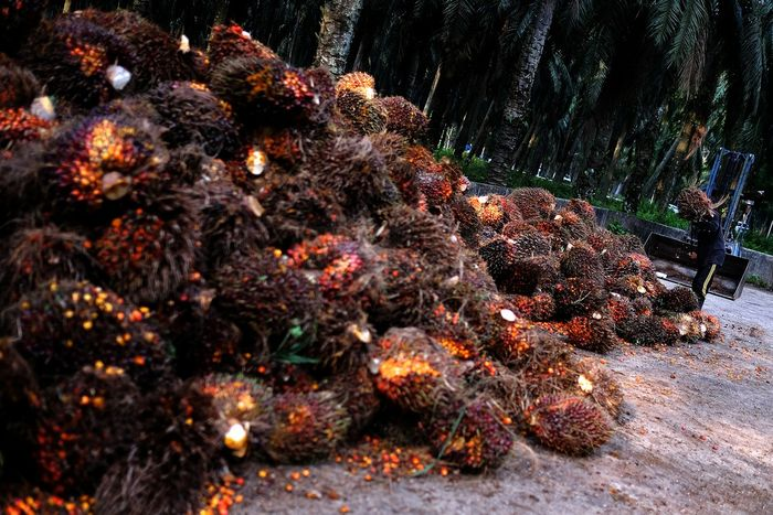 Russia_Going_Limit_Palm_Oil_Harmful_Products_Import