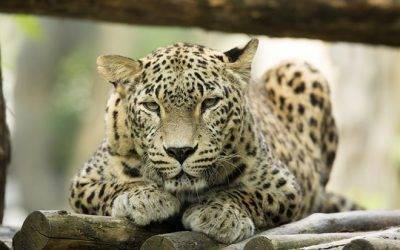 Leopards_on_the_verge_of_death_Russian_national_parks_were_left_without_funds_from_the_Ministry_of_natural_resources